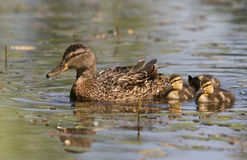 A Mallard female with ducklings Stock Photos
