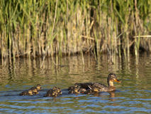 Mallard / Anas platyrhynchos. Mallard female with ducklings in the water Royalty Free Stock Photos