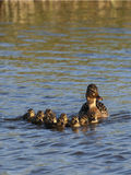 Mallard / Anas platyrhynchos. Mallard female with ducklings in the water Royalty Free Stock Photo