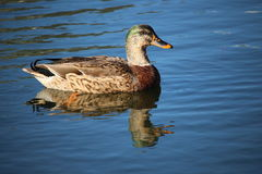 Mallard - female with green male coloring Stock Images
