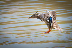 Mallard. Female mallard landing on water Stock Photos
