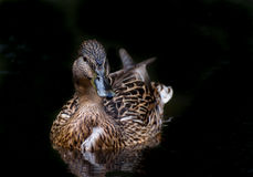 Mallard female. Lonely female in the water Royalty Free Stock Image