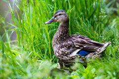 Mallard Female. Stock Images