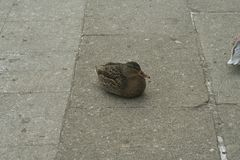 Mallard the female. Mallard female rest on a stone solid plate Royalty Free Stock Image