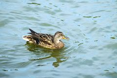 The mallard female swims in the water. Anas platyrhynchos Royalty Free Stock Photos