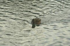 Mallard on the water. Mallard female swims on the water Royalty Free Stock Image