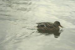 Mallard on the water. Mallard female swims on the water Royalty Free Stock Photo