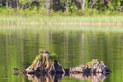 Mallard female on a tree stump. In the water with the ducklings Royalty Free Stock Photography