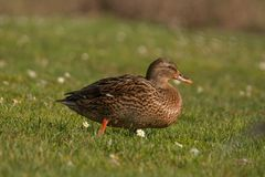 Mallard Female. Walking on the grass and looking for food Stock Photography