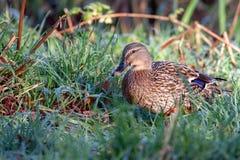 Mallard femelle marchant par l'herbe chargée par rosée Photographie stock