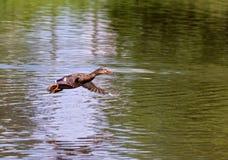 Mallard femminile Duck Flying Above Lagoon Fotografia Stock