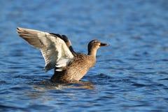 Mallard femminile Duck Stretching Her Wings Fotografia Stock Libera da Diritti