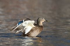Mallard femminile Duck Swimming nella caduta fotografia stock