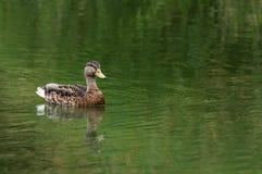 Mallard femminile solo Duck Swimming alla destra in stagno Immagini Stock Libere da Diritti