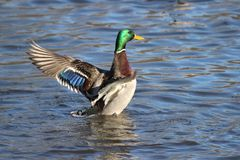 Male Mallard Flap. A mallard duck flaps his wings to shake off drops of  water Stock Image