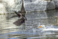 Mallard flees from attacking duck. Stock Photo
