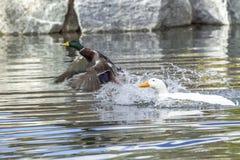 Mallard flies from water. A mallard duck flees from an aggressive Pekin Duck Stock Image