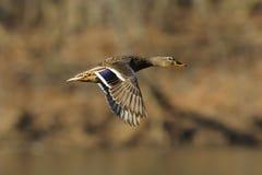 Mallard flight 1. Mallard hen in flight with wings cupped Stock Photos