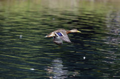 Mallard in flight. A mallard flying over a lake Stock Photo