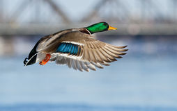Mallard in flight Stock Photo