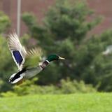 Mallard in Flight. Male mallard duck in flight Stock Photo