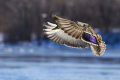 Mallard in flight Royalty Free Stock Photography