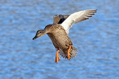 Mallard in Flight. A female mallard duck hen flying in to land on a lake Royalty Free Stock Photography