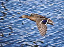 Mallard in flight Royalty Free Stock Image