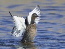 Mallard Anas platyrhynchos. Mallard in flight in its natural habitat in Denmark Royalty Free Stock Images
