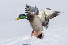Mallard in flight Royalty Free Stock Photo
