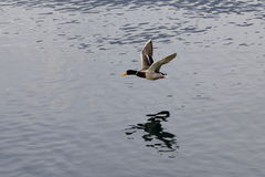 Mallard. A mallard a flight over the lake Royalty Free Stock Photos