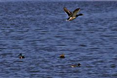 Mallard in flight. Over lake waters on a sunny day in early spring Royalty Free Stock Photography