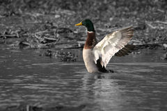 Mallard fling wngs in water. Grey background color bird royalty free stock photo