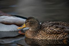 Mallard floating in the river. Close upn Stock Photos