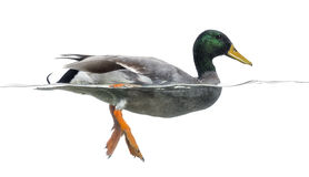 Mallard floating on the water, Anas platyrhynchos Royalty Free Stock Image