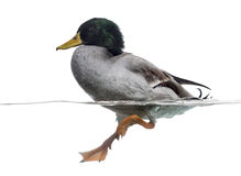 Mallard floating on the water, Anas platyrhynchos Stock Photos