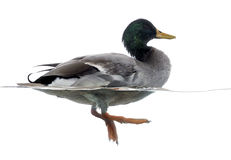 Mallard floating on the water, Anas platyrhynchos. Side view of a Mallard floating on the water, Anas platyrhynchos, isolated on white Stock Image