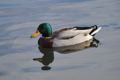 Mallard floating on the water. Mallard male floating on the water, Sunny day Royalty Free Stock Image