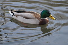 Mallard floating on the water. Mallard male floating on the water, Sunny day Stock Images
