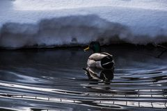Mallard floating on a winter pond. Close up Stock Photo