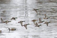 Mallard Flock. Drake Mallards chasing a hen on a courtship flight Stock Photos