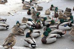 Mallard Flock on Ice (Anas platyrhynchos) Stock Photo
