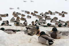 Mallard Flock on Ice (Anas platyrhynchos) Stock Images