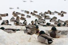 Mallard Flock on Ice (Anas platyrhynchos) Stock Images