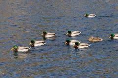 Mallard Flock on Lake. A flock of mallards swimming on a lake Stock Photos
