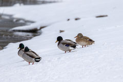 Mallard Flock in Snow. A flock of mallards standing in snow Stock Photography