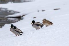 Mallard Flock in Snow Stock Photography