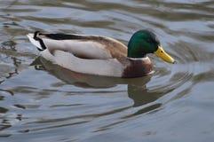 Mallard flottant sur l'eau Images stock