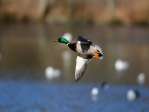 Mallard fly. Ing over the lake, sweden Stock Photo