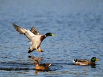 Mallard fly. Ing on lake, sweden Royalty Free Stock Images